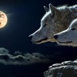 Two wolves are shown focused on the full moon to show that January is known as the Full Wolf Moon because Wolves were know to howl in hunger at the full moon.
